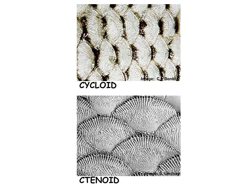 CTENOID CYCLOID