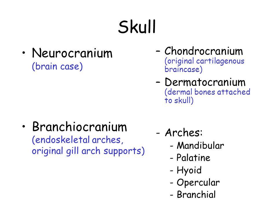 Skull Neurocranium (brain case) Branchiocranium (endoskeletal arches, original gill arch supports) –Chondrocranium (original cartilagenous braincase) –Dermatocranium (dermal bones attached to skull) -Arches: -Mandibular -Palatine -Hyoid -Opercular -Branchial