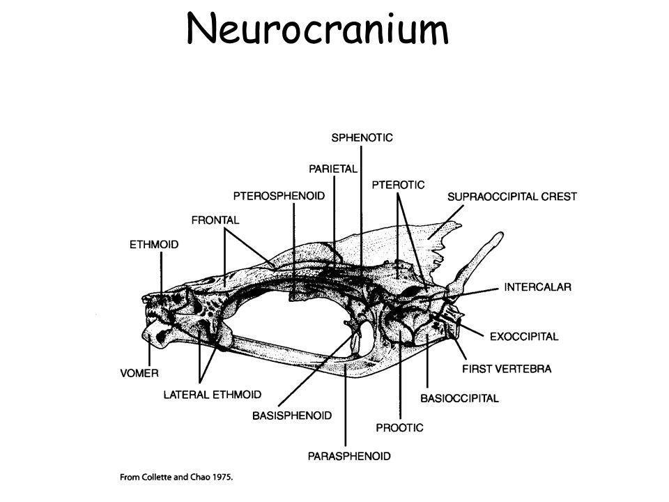 Neurocranium