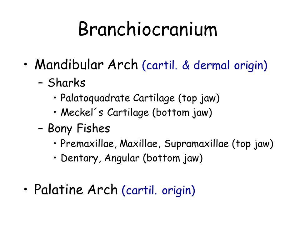 Mandibular Arch (cartil.