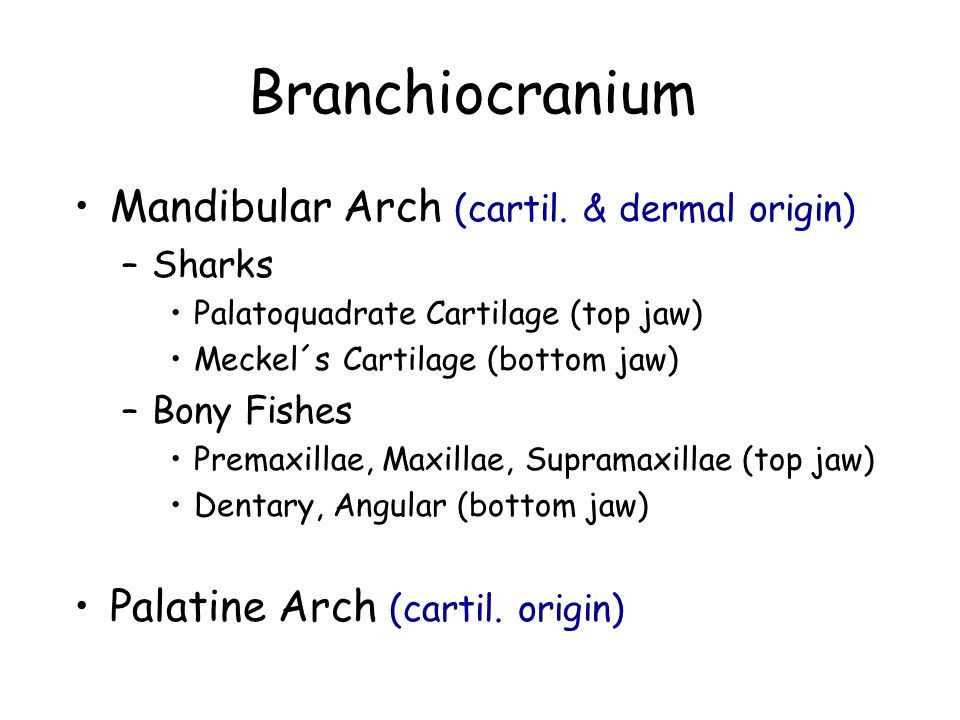 Mandibular Arch (cartil. & dermal origin) –Sharks Palatoquadrate Cartilage (top jaw) Meckel´s Cartilage (bottom jaw) –Bony Fishes Premaxillae, Maxilla