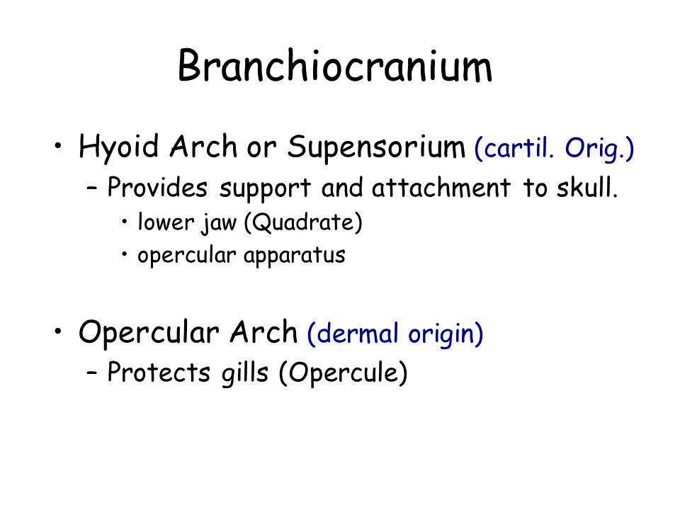 Branchiocranium Hyoid Arch or Supensorium (cartil. Orig.) –Provides support and attachment to skull. lower jaw (Quadrate) opercular apparatus Opercula