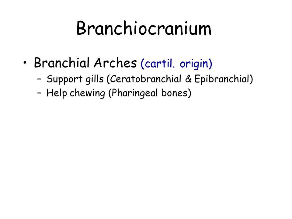 Branchiocranium Branchial Arches (cartil. origin) –Support gills (Ceratobranchial & Epibranchial) –Help chewing (Pharingeal bones)