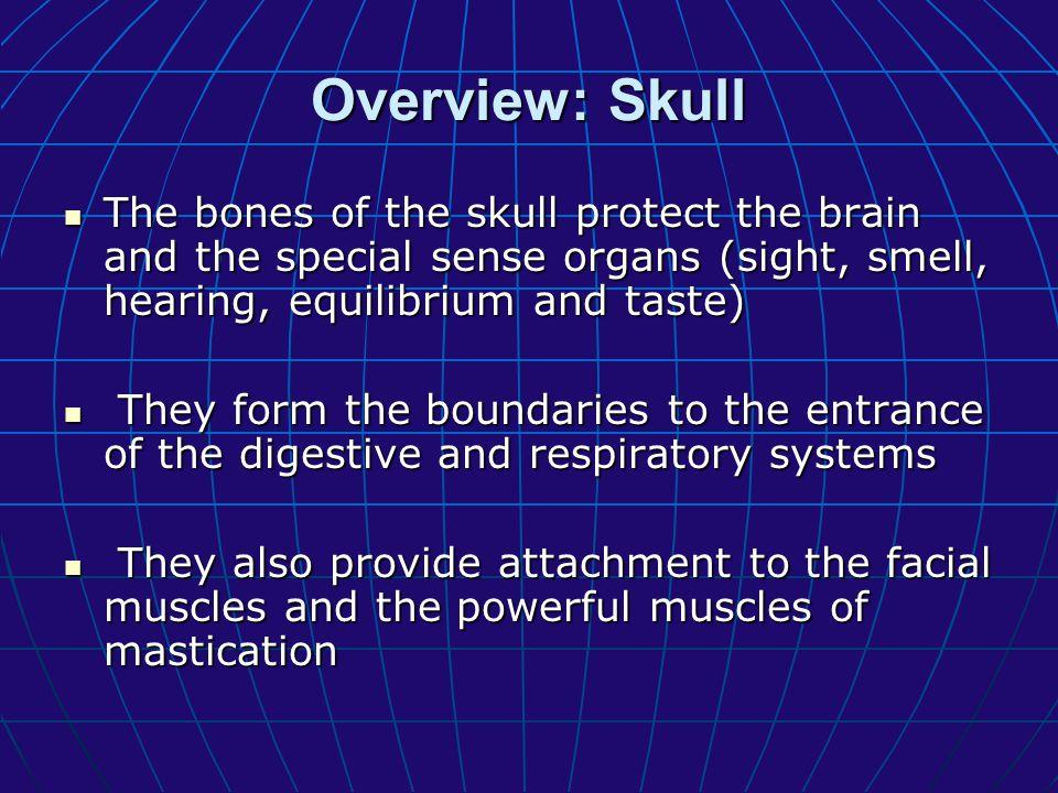 A.Paired bones of the facial bones 3. Maxilla: 3.