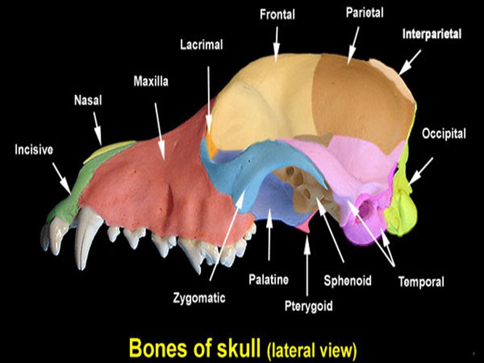 A.Paired bones of the facial bones 10. Mandible: 10.