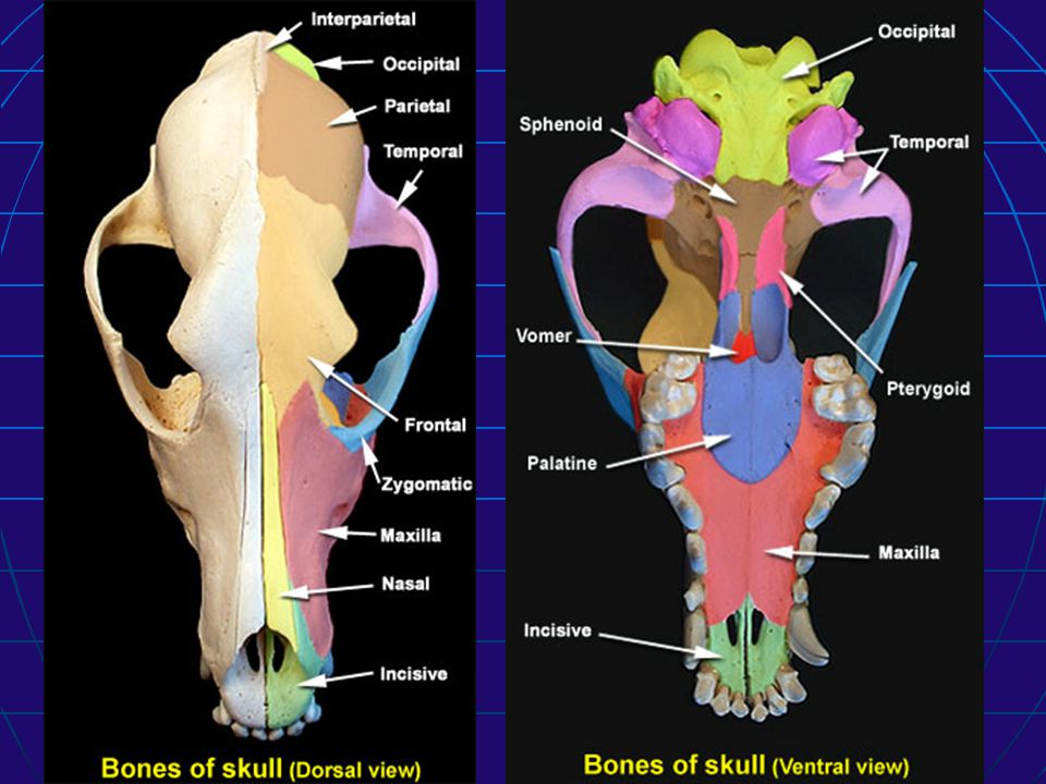 A.Paired bones of the facial bones 7. Pterygoid: 7.