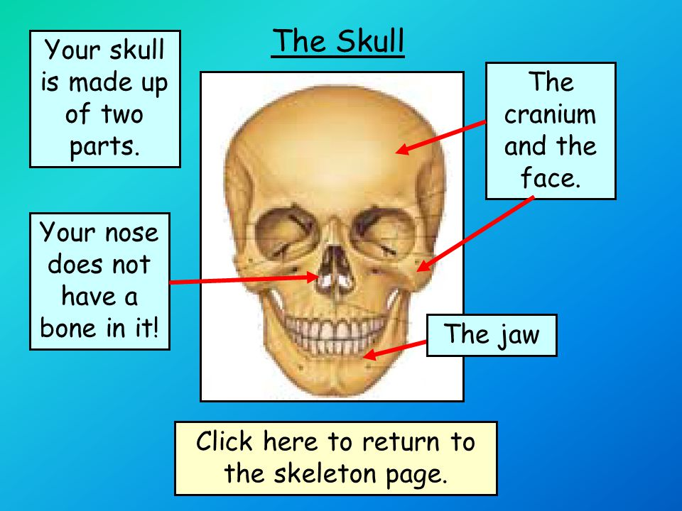 The Jaw Your jaw bone is also part of your skull It is the only bone in your skull that moves.