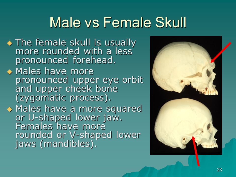 22 Gender Differences in Bones Gender Differences in Bones The ribcage and shoulders of males are generally wider and larger than that of females. In