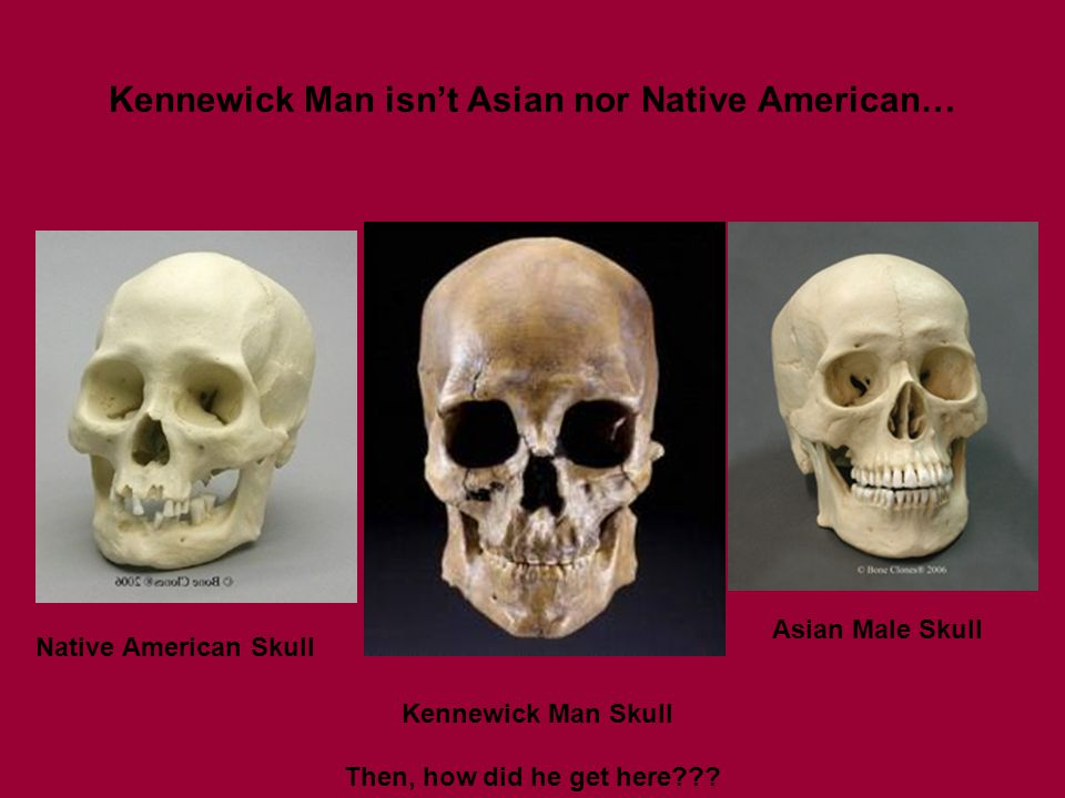 Kennewick Man isn't Asian nor Native American… Native American Skull Asian Male Skull Kennewick Man Skull Then, how did he get here???
