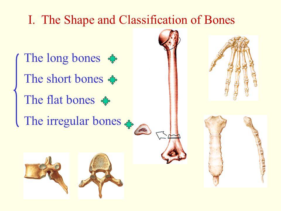 I. The Shape and Classification of Bones The long bones The short bones The flat bones The irregular bones