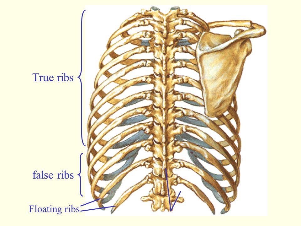 True ribs false ribs Floating ribs