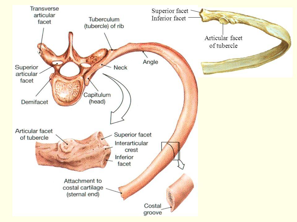 Superior facet Inferior facet Articular facet of tubercle