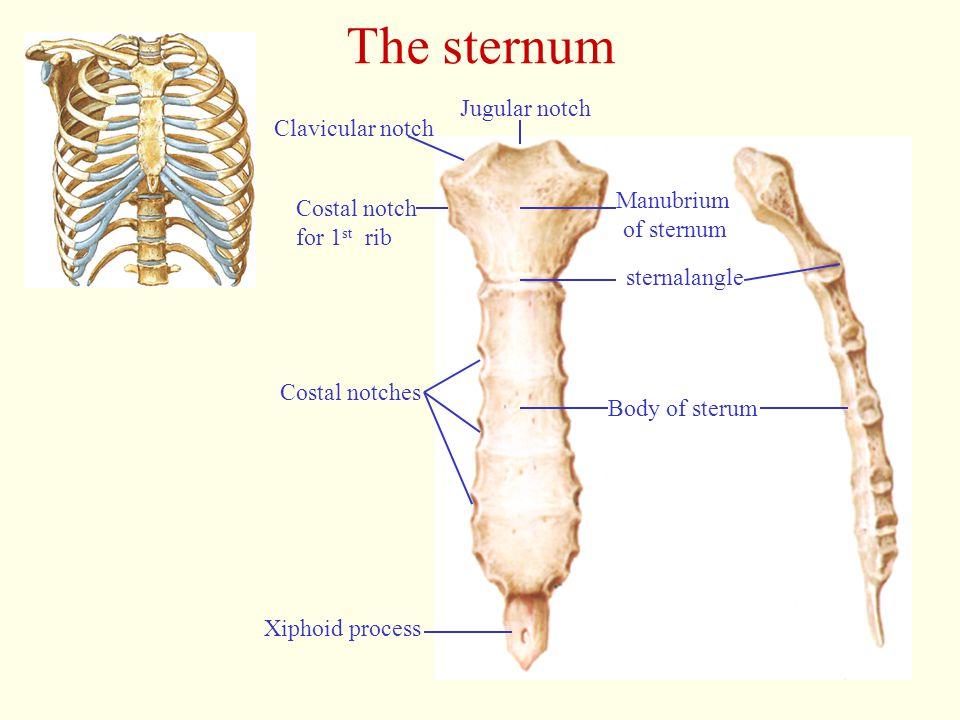The sternum Xiphoid process Body of sterum Costal notches Costal notch for 1 st rib Clavicular notch Jugular notch sternalangle Manubrium of sternum