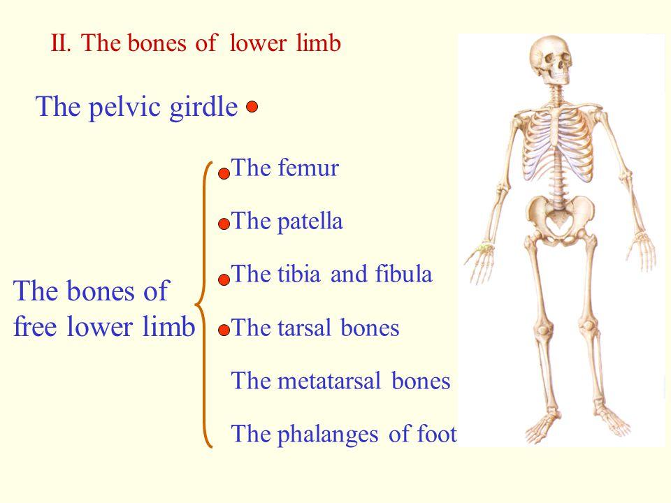 II. The bones of lower limb The pelvic girdle The bones of free lower limb The femur The patella The tibia and fibula The tarsal bones The metatarsal