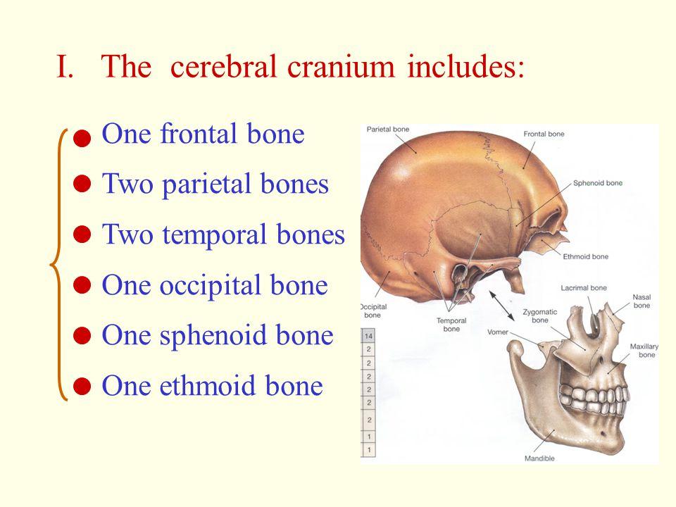 I. The cerebral cranium includes: One frontal bone Two parietal bones Two temporal bones One occipital bone One sphenoid bone One ethmoid bone