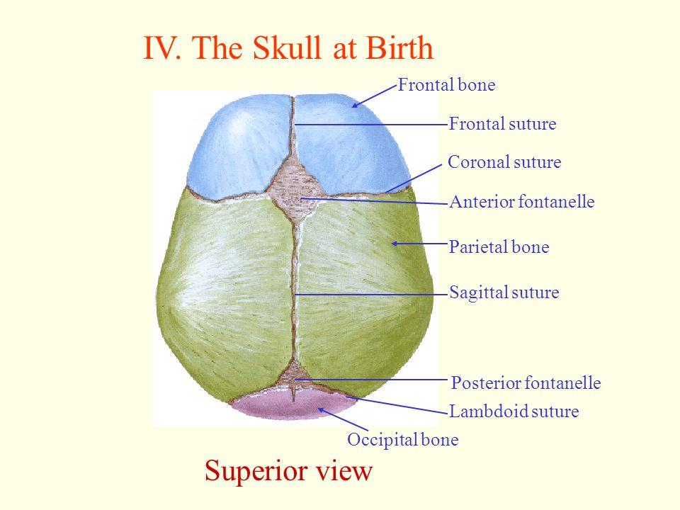 IV. The Skull at Birth Superior view Occipital bone Frontal bone Frontal suture Coronal suture Anterior fontanelle Parietal bone Sagittal suture Poste