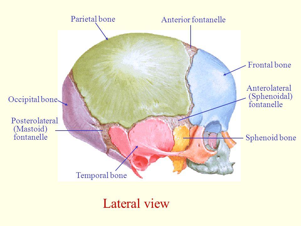 Lateral view Occipital bone Frontal bone Anterior fontanelle Parietal bone Posterolateral (Mastoid) fontanelle Temporal bone Anterolateral (Sphenoidal