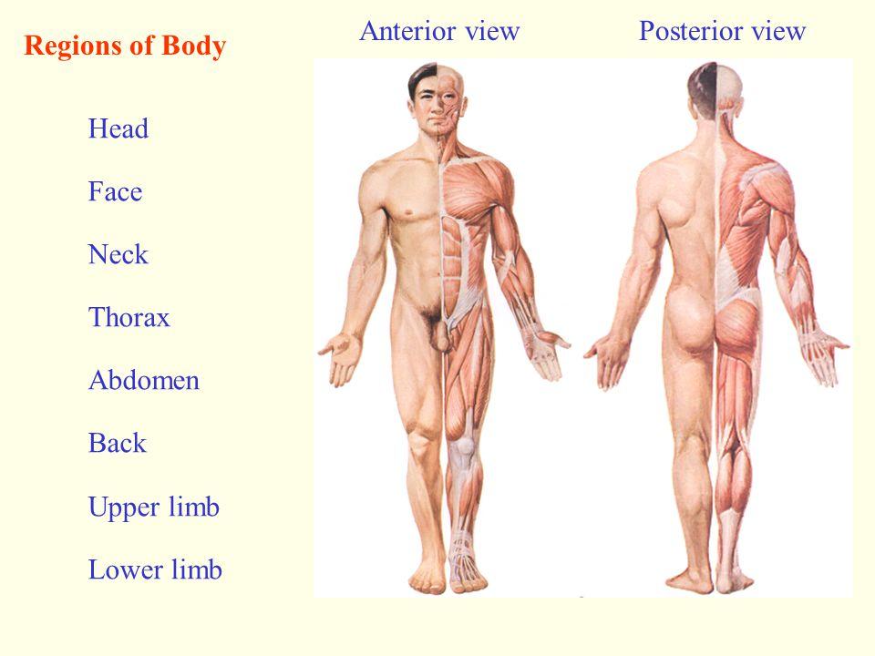The Ribs (Costae) True ribs false ribs Floating ribs Costal arch