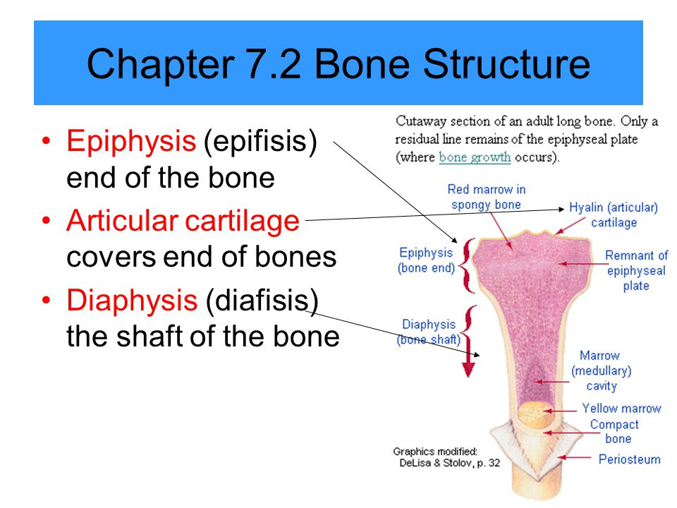 Chapter 7.2 Bone Structure Epiphysis (epifisis) end of the bone Articular cartilage covers end of bones Diaphysis (diafisis) the shaft of the bone