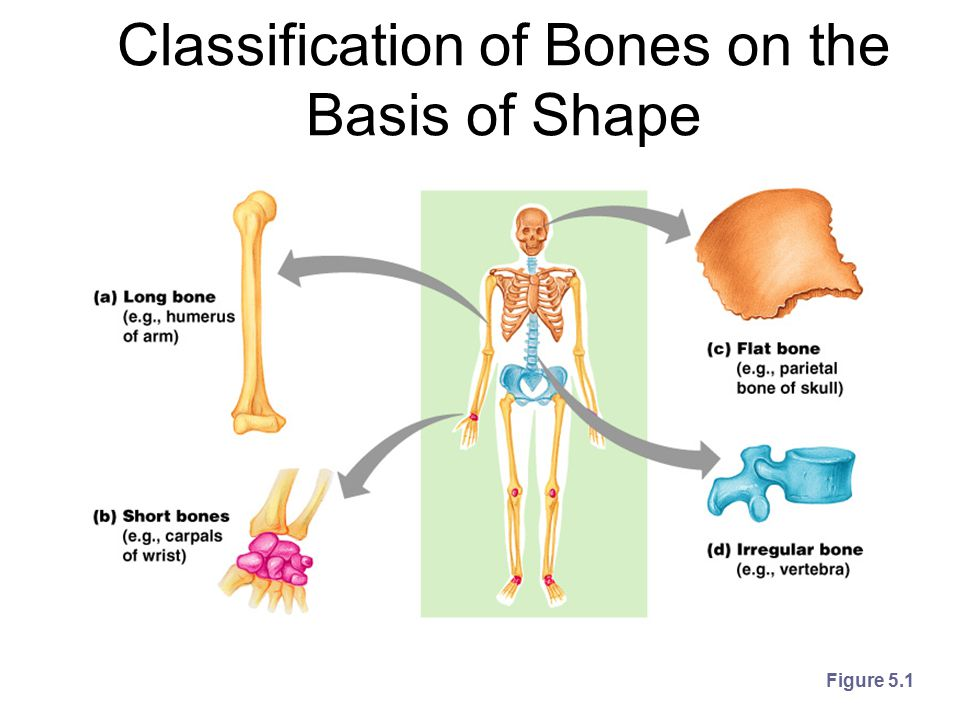 Classification of Bones Long bones –Typically longer than wide –Have a shaft with heads at both ends –Contain mostly compact bone Examples: Femur, humerus Short bones –Generally cube-shape –Contain mostly spongy bone Examples: Carpals, tarsals