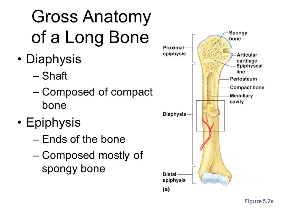 Structures of a Long Bone Periosteum –Outside covering of the diaphysis –Fibrous connective tissue membrane Sharpey's fibers –Secure periosteum to underlying bone Arteries –Supply bone cells with nutrients Figure 5.2c