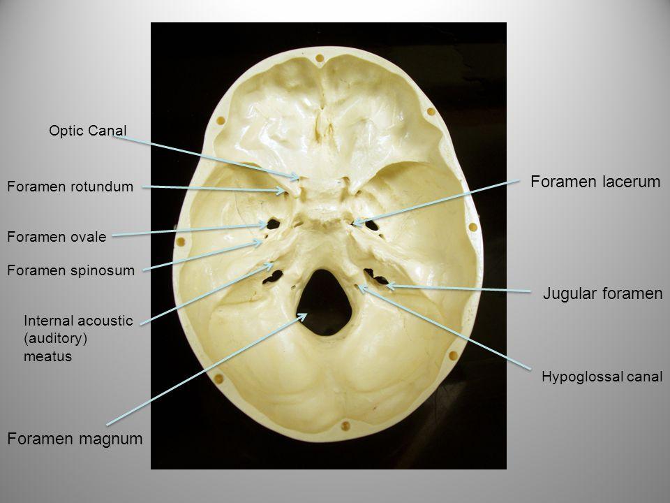 Foramen rotundum Foramen ovale Foramen spinosum Foramen magnum Hypoglossal canal Jugular foramen Foramen lacerum Internal acoustic (auditory) meatus O