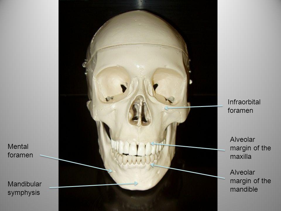 Frontal process of the maxilla Frontal process of the zygomatic Zygomatic process of the maxilla Zygomatic process of the frontal bone Perpendicular plate (ethmoid bone)