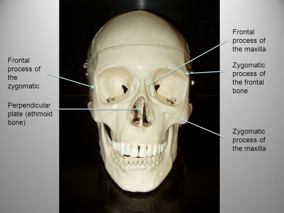 Frontal process of the maxilla Frontal process of the zygomatic Zygomatic process of the maxilla Zygomatic process of the frontal bone Perpendicular p