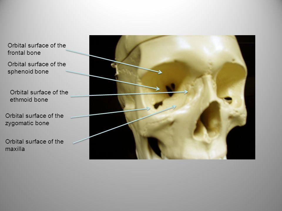 Orbital surface of the frontal bone Orbital surface of the sphenoid bone Orbital surface of the ethmoid bone Orbital surface of the zygomatic bone Orb