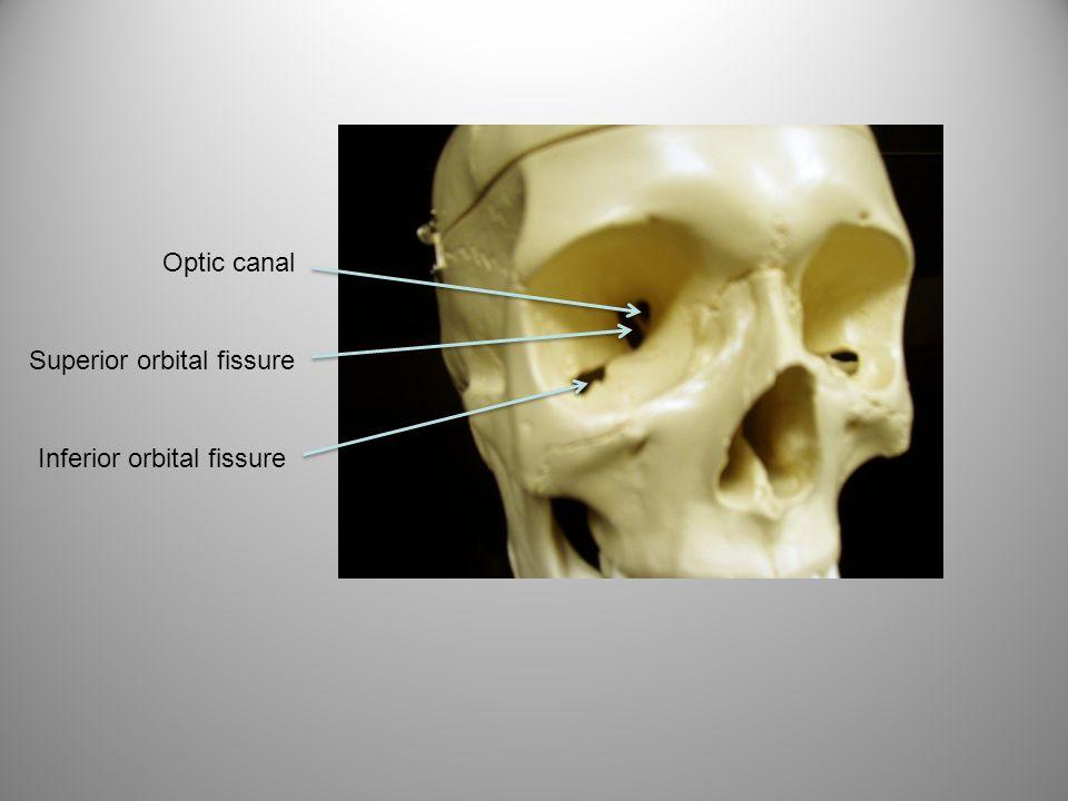 Optic canal Superior orbital fissure Inferior orbital fissure