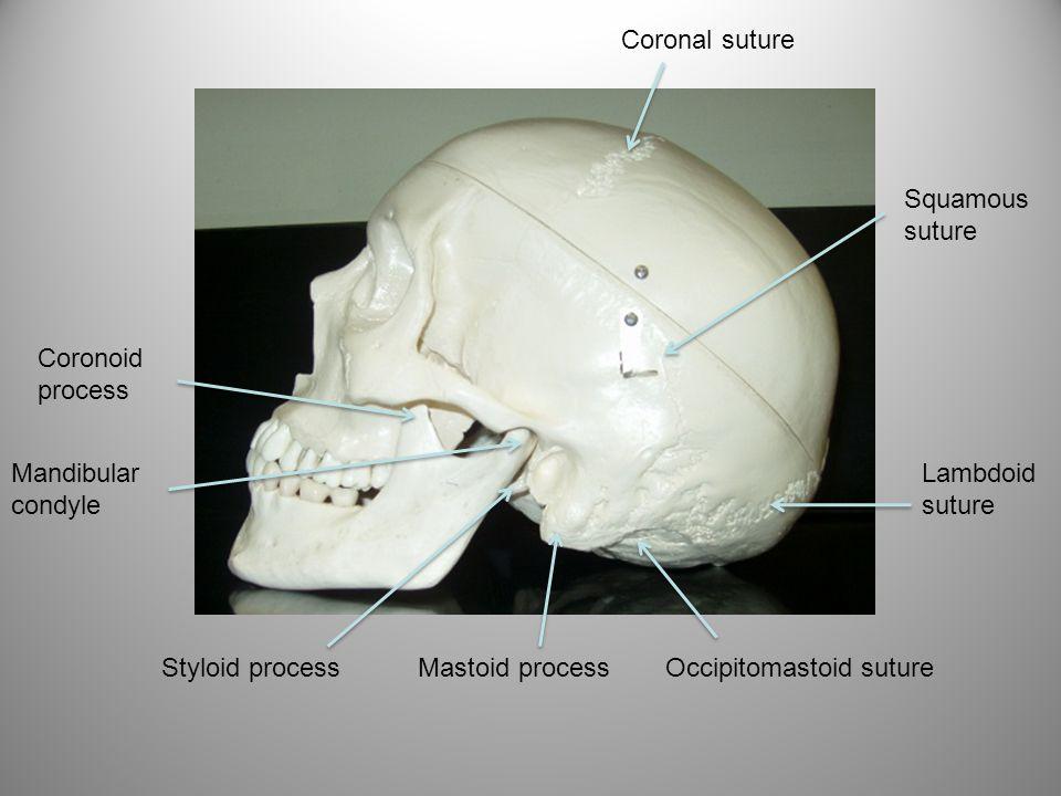 Coronal suture Squamous suture Lambdoid suture Occipitomastoid sutureStyloid processMastoid process Coronoid process Mandibular condyle