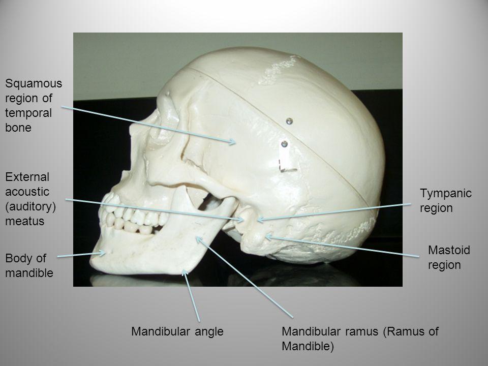 Squamous region of temporal bone External acoustic (auditory) meatus Body of mandible Mandibular angleMandibular ramus (Ramus of Mandible) Tympanic re
