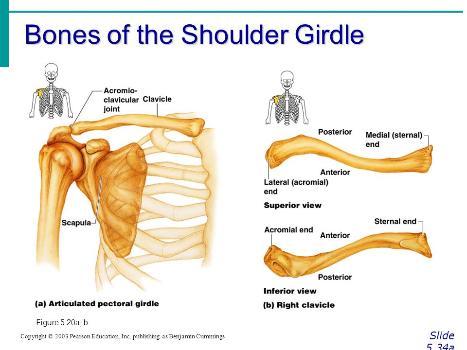 Bones of the Shoulder Girdle Slide 5.34a Copyright © 2003 Pearson Education, Inc. publishing as Benjamin Cummings Figure 5.20a, b