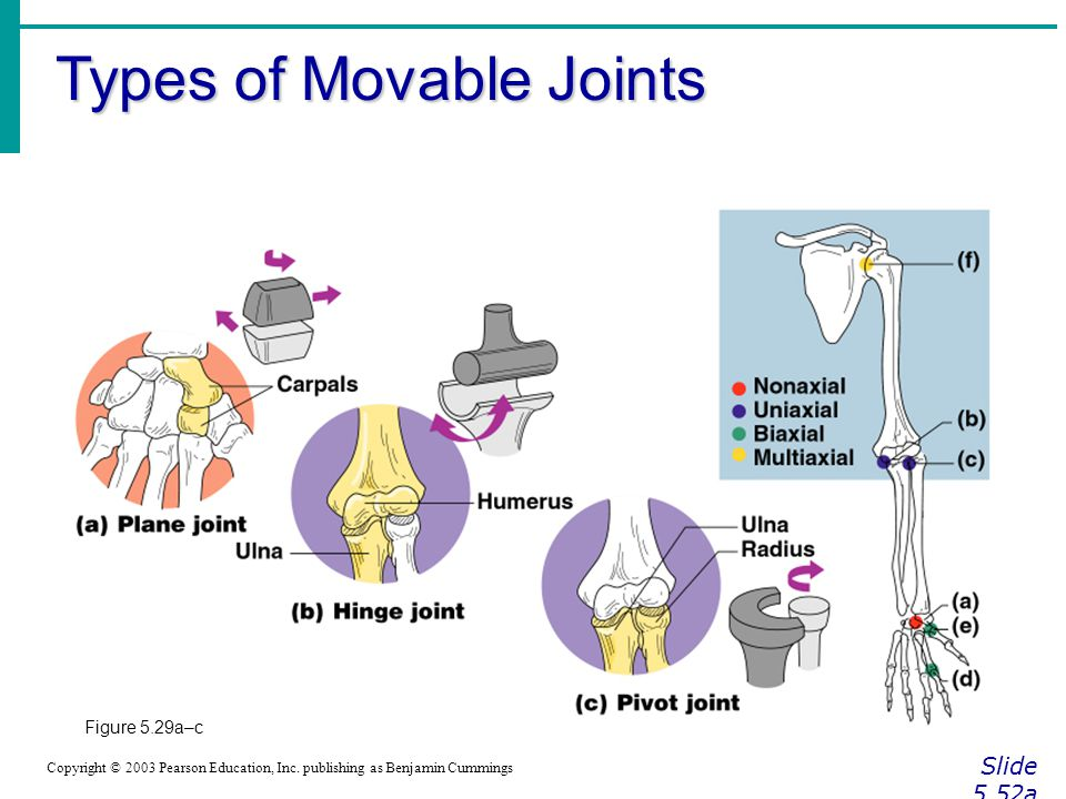 Types of Movable Joints Slide 5.52a Copyright © 2003 Pearson Education, Inc. publishing as Benjamin Cummings Figure 5.29a–c