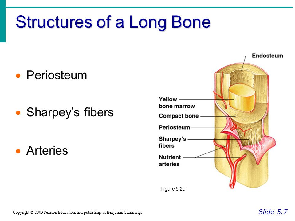 The Bony Thorax Slide 5.31a Copyright © 2003 Pearson Education, Inc.