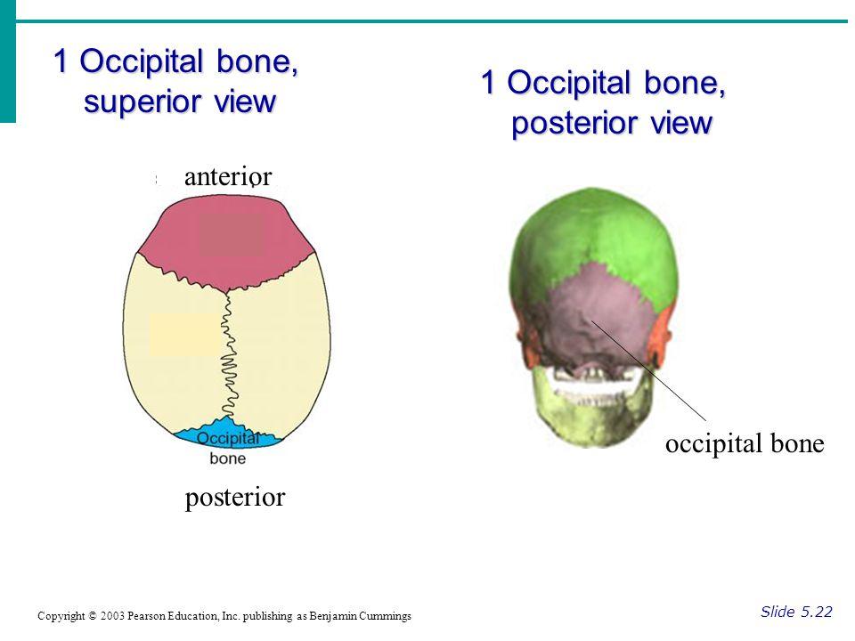 1 Occipital bone, superior view Slide 5.22 Copyright © 2003 Pearson Education, Inc.