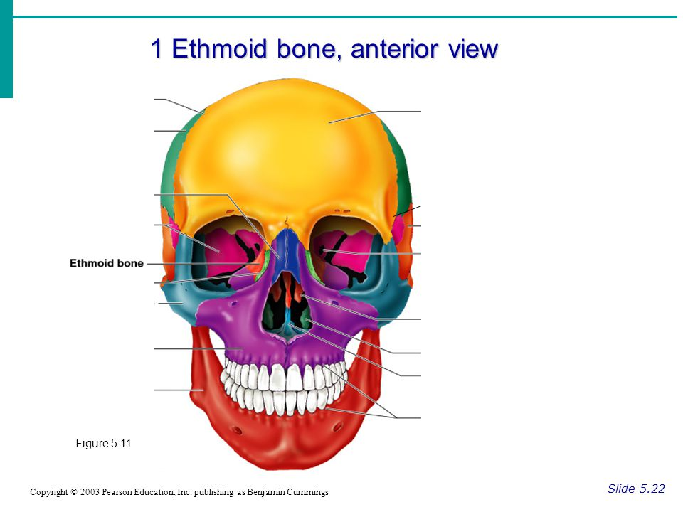 1 Ethmoid bone, anterior view Slide 5.22 Copyright © 2003 Pearson Education, Inc. publishing as Benjamin Cummings Figure 5.11