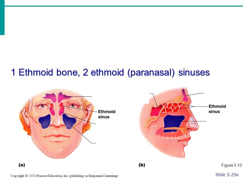 1 Ethmoid bone, 2 ethmoid (paranasal) sinuses Slide 5.25a Copyright © 2003 Pearson Education, Inc.