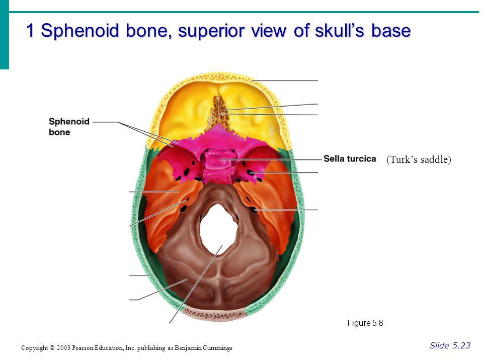 1 Sphenoid bone, superior view of skull's base Slide 5.23 Copyright © 2003 Pearson Education, Inc.