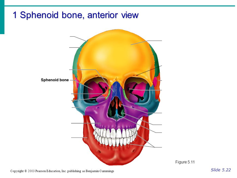 1 Sphenoid bone, anterior view Slide 5.22 Copyright © 2003 Pearson Education, Inc.