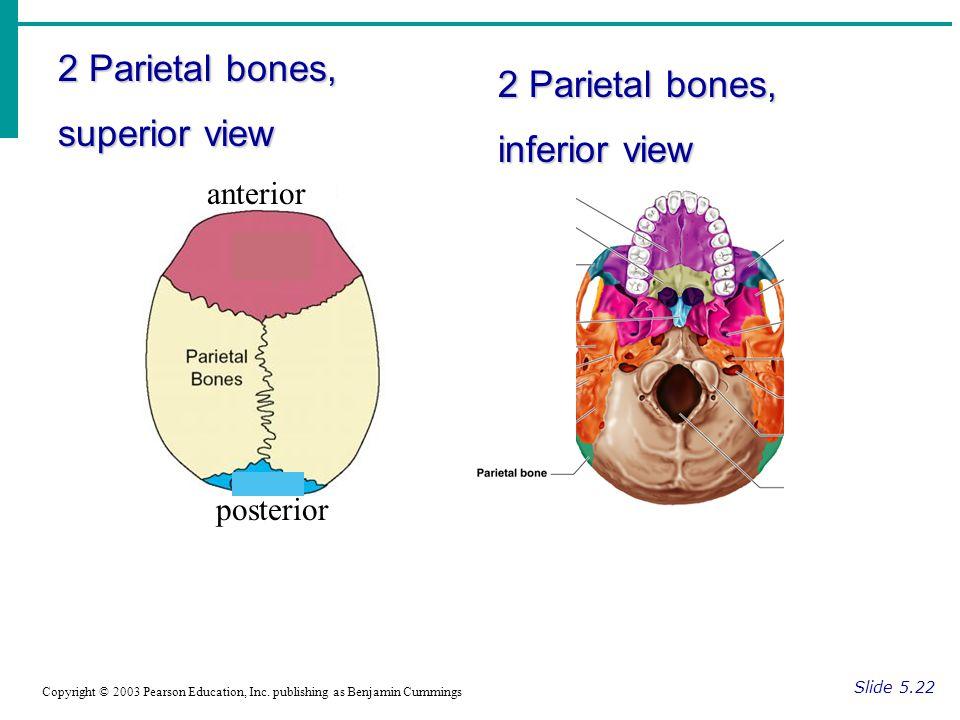 2 Parietal bones, superior view Slide 5.22 Copyright © 2003 Pearson Education, Inc.
