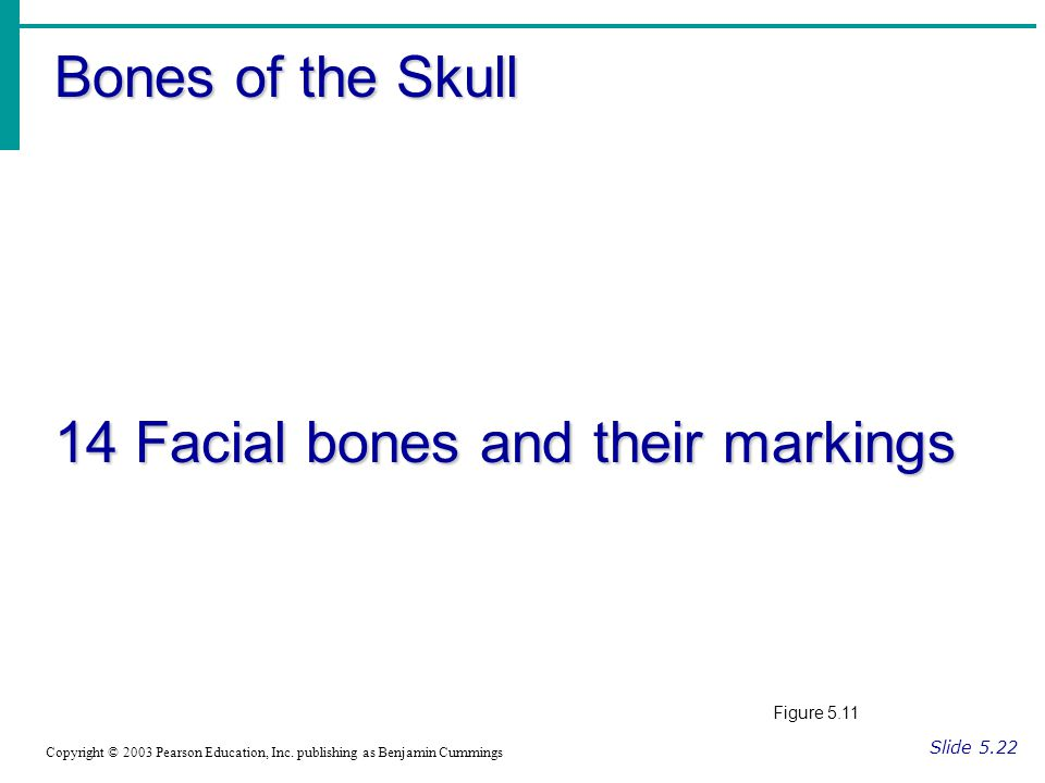 Bones of the Skull 14 Facial bones and their markings Slide 5.22 Copyright © 2003 Pearson Education, Inc.