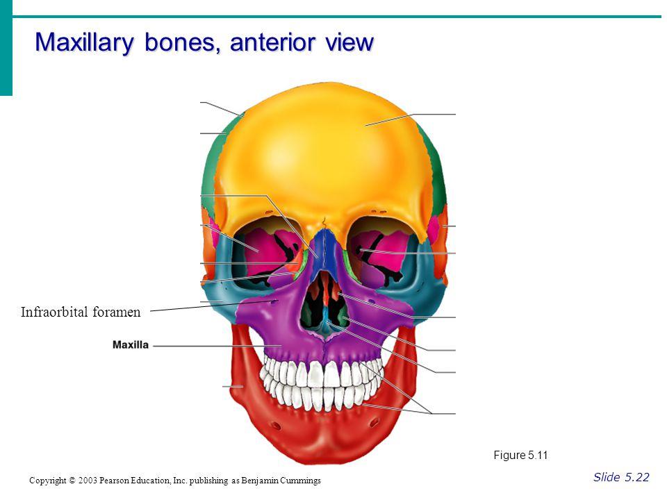 Maxillary bones, anterior view Slide 5.22 Copyright © 2003 Pearson Education, Inc.