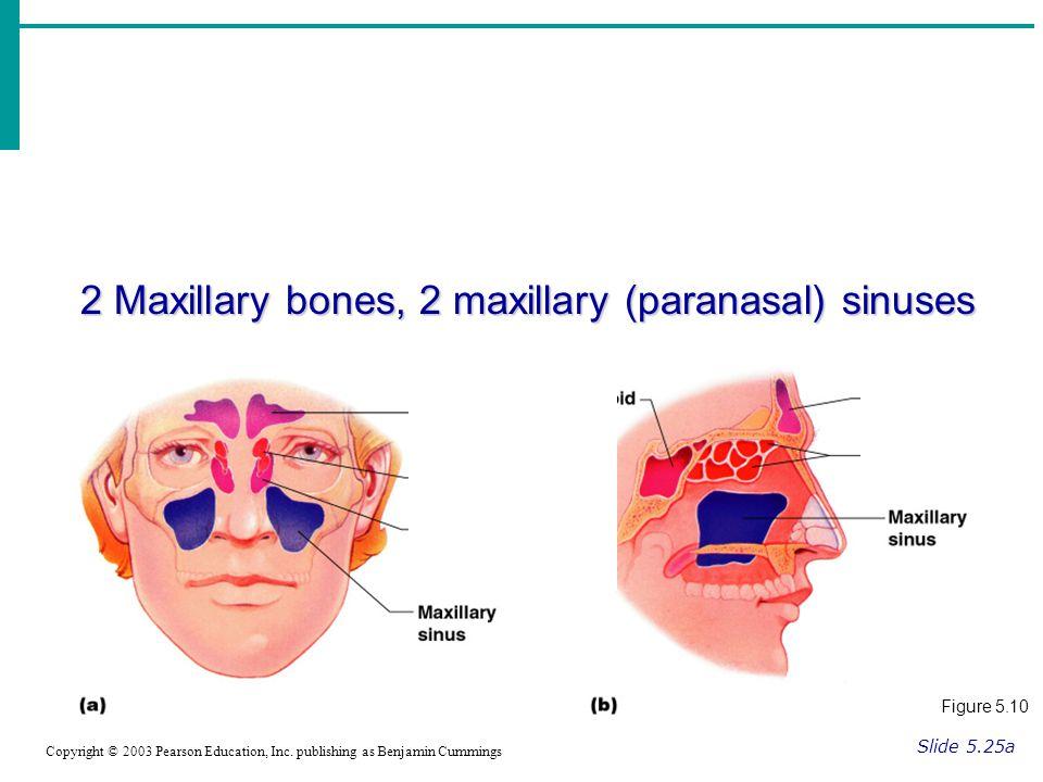 2 Maxillary bones, 2 maxillary (paranasal) sinuses Slide 5.25a Copyright © 2003 Pearson Education, Inc.
