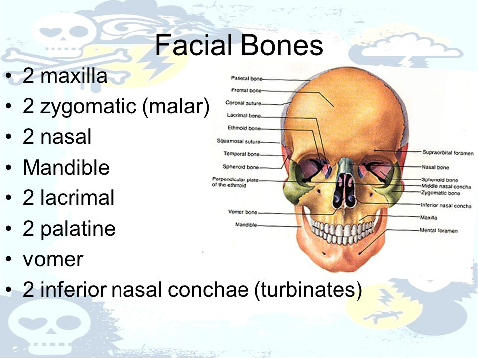 Facial Bones 2 maxilla 2 zygomatic (malar) 2 nasal Mandible 2 lacrimal 2 palatine vomer 2 inferior nasal conchae (turbinates)