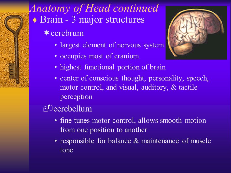 Anatomy of Head continued  Brain - 3 major structures ¬cerebrum largest element of nervous system occupies most of cranium highest functional portion