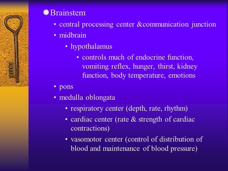 ®Brainstem central processing center &communication junction midbrain hypothalamus controls much of endocrine function, vomiting reflex, hunger, thirs