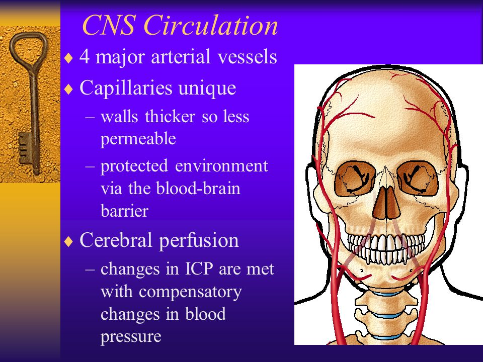 CNS Circulation  4 major arterial vessels  Capillaries unique –walls thicker so less permeable –protected environment via the blood-brain barrier  Cerebral perfusion –changes in ICP are met with compensatory changes in blood pressure