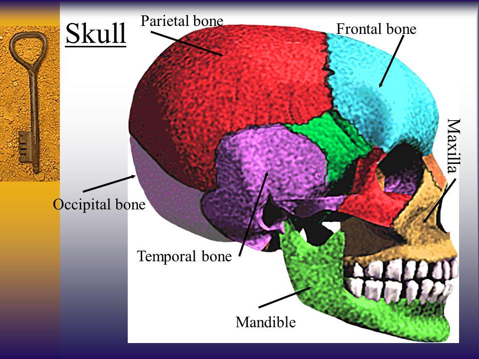 Skull Parietal bone Frontal bone Occipital bone Temporal bone Mandible Maxilla