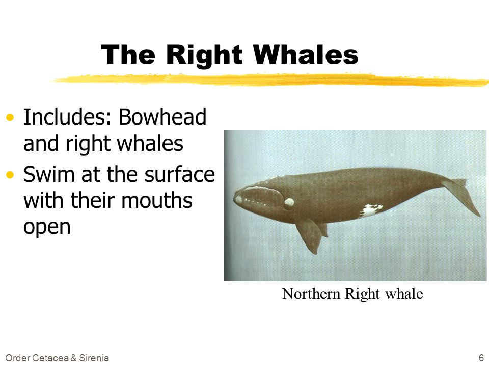 Order Cetacea & Sirenia6 The Right Whales Includes: Bowhead and right whales Swim at the surface with their mouths open Northern Right whale